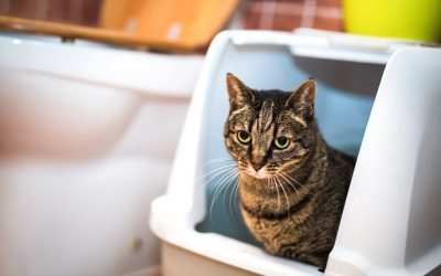 Diarrhea in Cats and Kittens